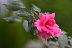 これも薔薇