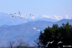 瓢湖上空 群れ為す白鳥