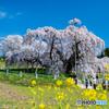 三春の滝桜4