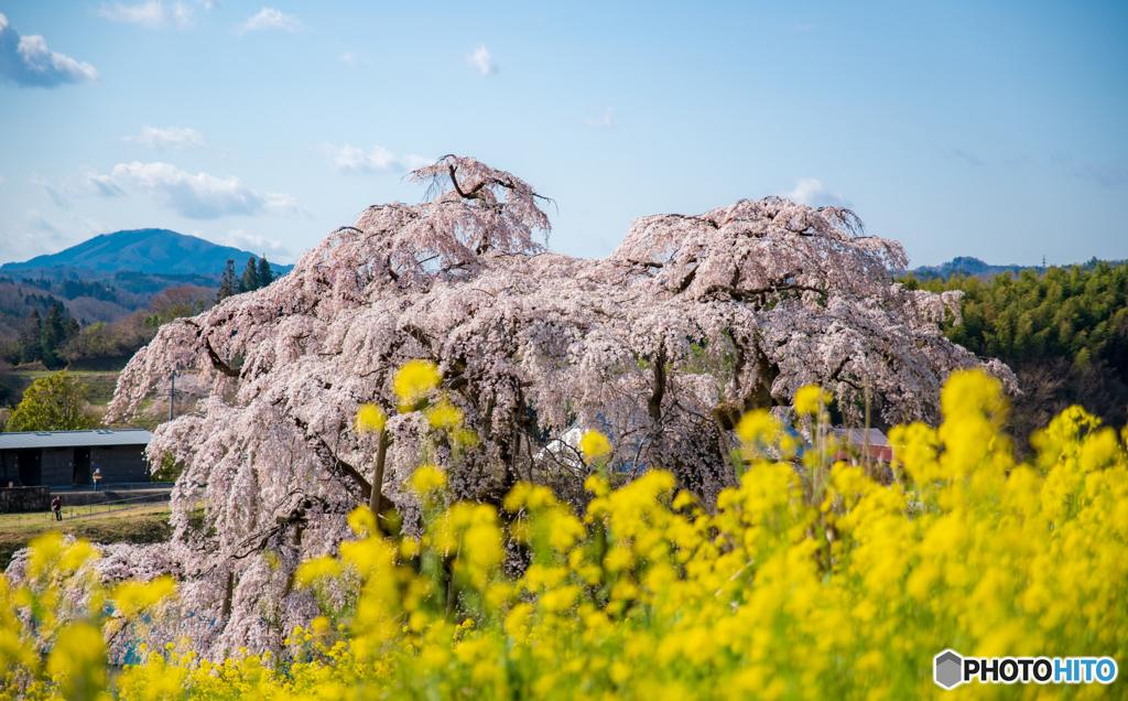 三春の滝桜1