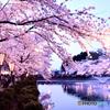 高田公園 夜桜