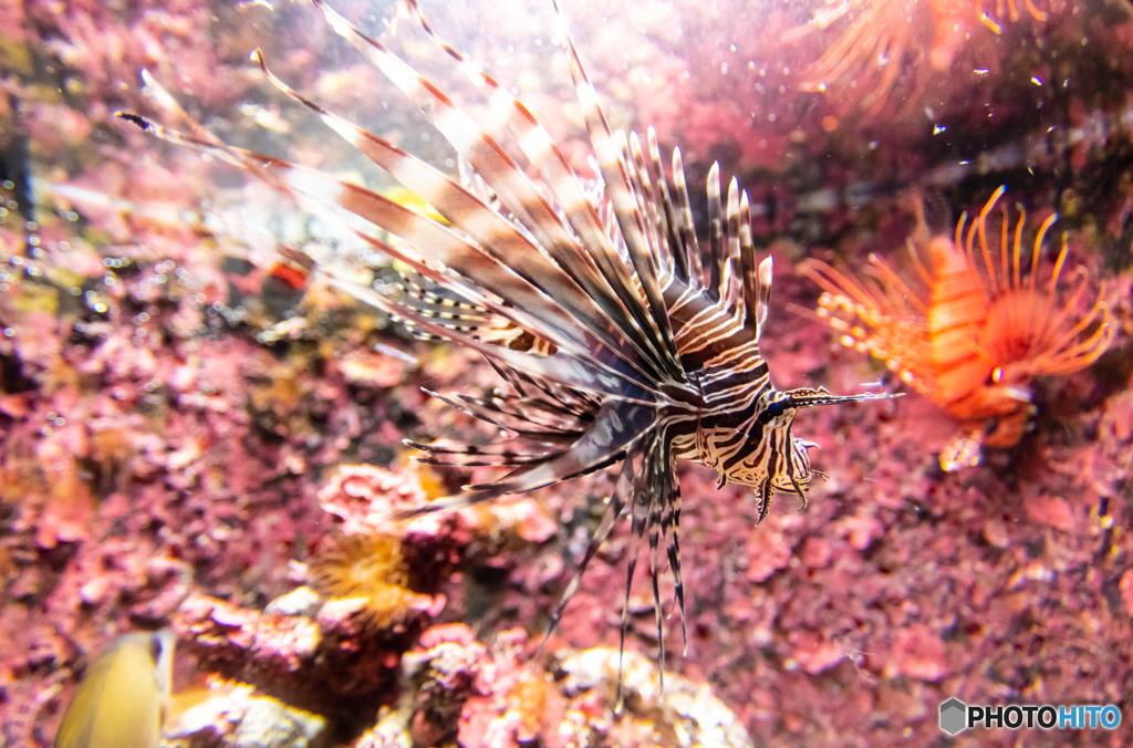 美ら海水族館 ハナミノカサゴ