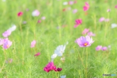 早咲きのコスモス2