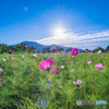 早咲きのコスモス1