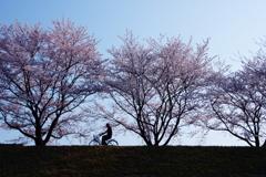 桜並木を自転車で♪