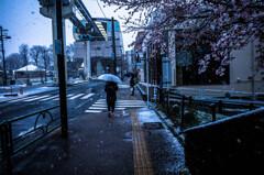 桜&雪&傘