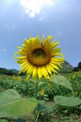 向日葵 2