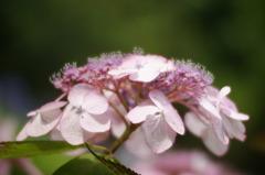 ピンク色の額紫陽花