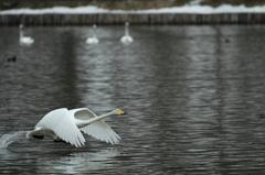 2010白鳥