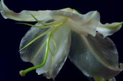 ゆりの花2
