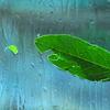 はりつく葉