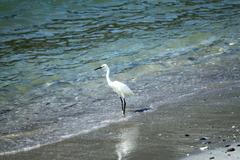 渚のコサギ