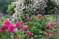 rose garden1