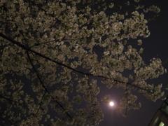 桜と月の夜