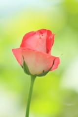 梅雨明けの夏空に一輪の薔薇で乾杯