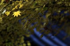 一葉の晩秋