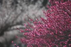 梅が咲く丘