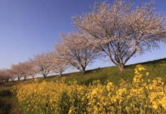地元千本桜