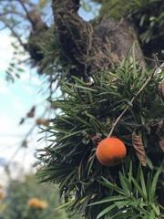 渋柿と 軒忍