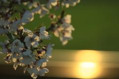 夕日とサクラと春の夢