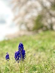 ムスカリの咲く丘