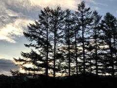 カラマツの防風林