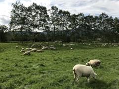 羊たちの午後