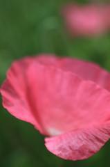 薄紙のような花が咲いた夏