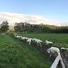 羊群声なく牧舎に帰り