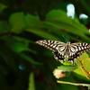 ナミアゲハ いわゆるアゲハチョウです。