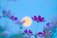 中秋の月とコスモス①