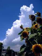 Thunder cloud & sunflower