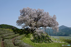 Agricultural Note alternative : 百年桜