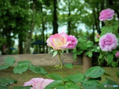 パレスハウステンボス前 薔薇園