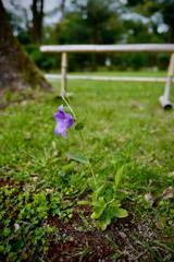 in Shimogamo blooms