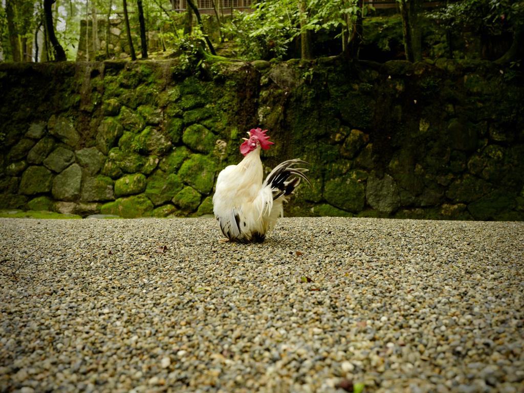 プレイバック7月:時を告げる鳥、石上神宮