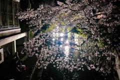 令和二年 四月 木屋町通りライトアップ、夜桜