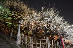 湯島の夜梅