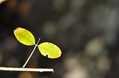 葉っぱのトンボ