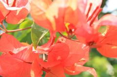 RED FLOWER, WHITE HEART