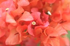 RED FLOWER, WHITE HEART Ⅱ