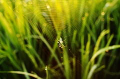 SPIDER ON MORNING SUN RISE