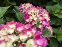 雨上がりの紫陽花 #004