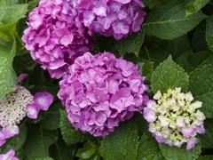 雨上がりの紫陽花 #002
