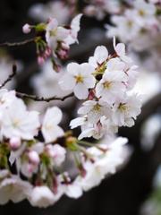 さくら咲く #03
