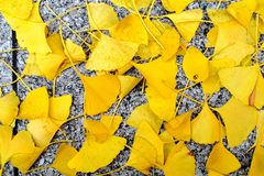 gingko leaves in shinsaibashi