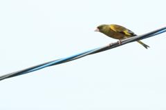 ベランダ野鳥Ⅱ