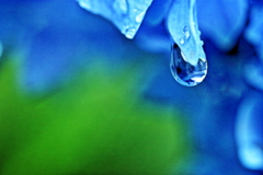 紫陽花&水滴Ⅳ