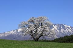 惜桜 (せきおう)