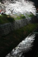響桜 (きょうざくら)